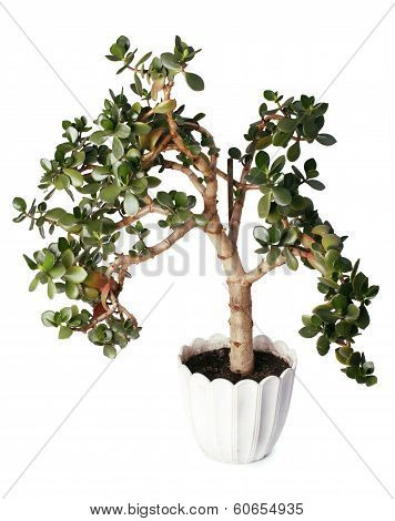 Crassula tree isolated on white background