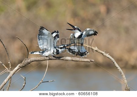 Two Pied Kingfishers Greeting Each Other