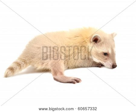 Baby Albino Raccoon Isolated
