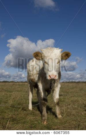 Young Cow On A Grass Field