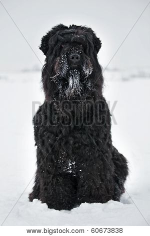 Large Black Terrier With Muzzle In The Snow