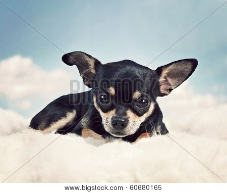 a cute chihuahua on some clouds