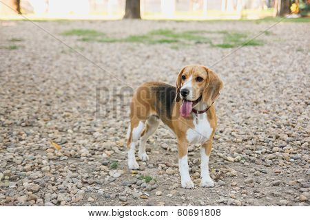 Beagle Puppy Dog In Countryside