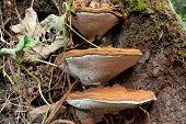 picture of bracket-fungus  - Wild ganoderma family fungi on bark mushrooms - JPG