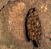 image of hollow  - A rare beehive inside a coconut tree trunk hollow