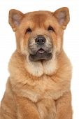 stock photo of chow  - Brown Chow - JPG