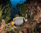 pic of angelfish  - Emperor Angelfish on coral reef in ocean - JPG