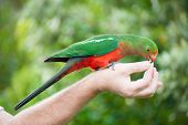 Curious Australian King-parrot (Alisterus scapularis) is being fed from the hand, seen near Apollo B