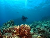 stock photo of sergeant major  - Diver on a Reef with Sergeant Major Fish in Kona Hawaii - JPG
