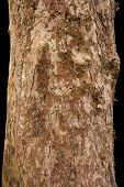 Scaly Tree Bark Of The Platane