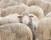 foto of herd  - Concept of one sheep from herd looking at camera - JPG