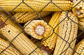 image of corn cob close-up  - Close up of corn cobs in storage place - JPG