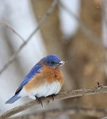 foto of bluebird  - Eastern bluebird Sialia sialis perched on a tree branch with snow on its beak