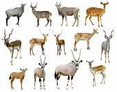 stock photo of eland  - this is antelope collection isolated on white background - JPG