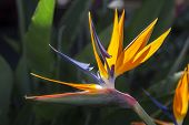 picture of bird paradise  - close up of a bird of paradise flower in nature - JPG