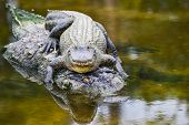 stock photo of alligator  - Young alligator and mother - JPG
