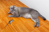 stock photo of dead mouse  - Close up Thai cat kill rat or mouse on ceramic floor tiles - JPG