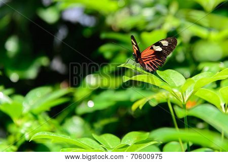 Red And Black Common Postman Butterfly
