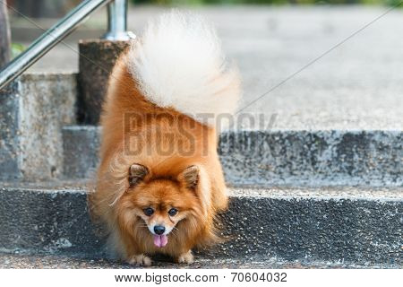 Pomeranian Dog Walking Down The Stairs In The Garden