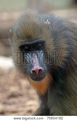 Portrait Of A Female Mandrill
