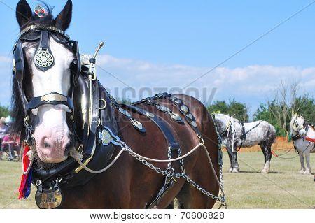 Heavy Horse standing in Field