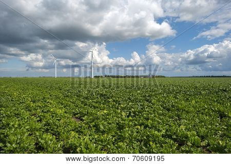 Turnip growing on a field in summer