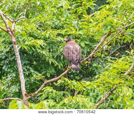 Crested Serpent Eagle Resting On A Perch
