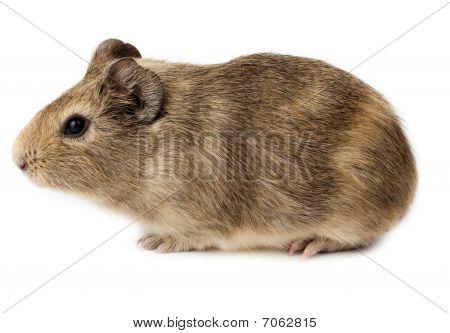 Guinea Pig, Cavy, Cavia Porcellus