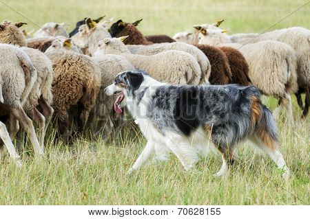Border Collie Dog Herding A Flock Of Sheep
