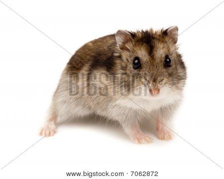 Djungarian, Asian, Siberian, Campbells, Winter White Russian Dwarf Hamster, Phodopus Sungorus