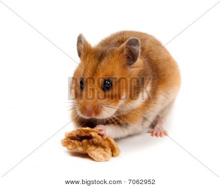 Golden, Or Syrian Hamster, Goldhamster (mesocricetus Auratus)