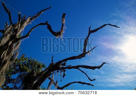 Old Dead Oak With Moss Against Sky