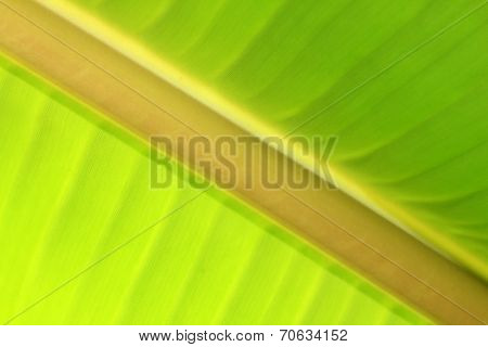 Banana Leafs Abstract