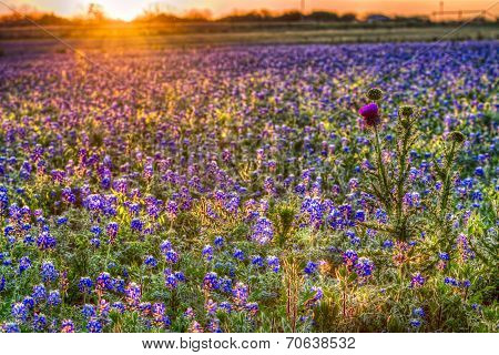 Bluebonnet Sunrise In The Texas Hill Country