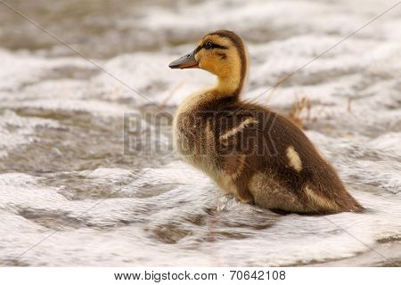 Duckling Looking Across Waves