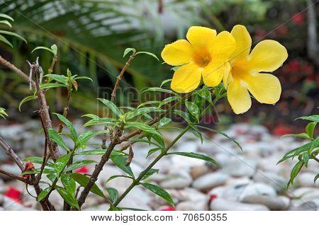 Yellow Flower With Dew On A Bush, Allamanda