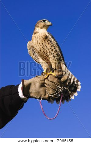 Pregrine Falcon Cross On Gloved Hand