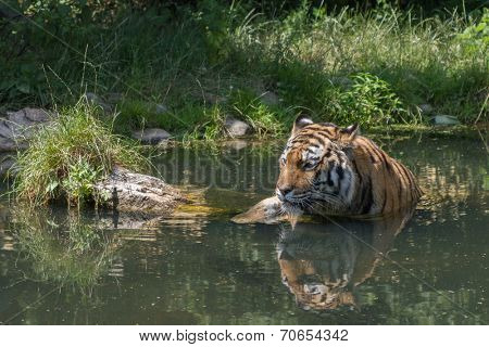 Tiger taking a bath at hot summer day