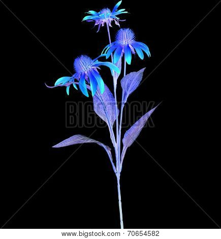 Colored Echinacea  Flower isolated on black background