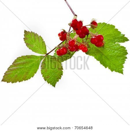 Wild Forest Stone Bramble berry (Rubus saxatilis)  isolated on white background