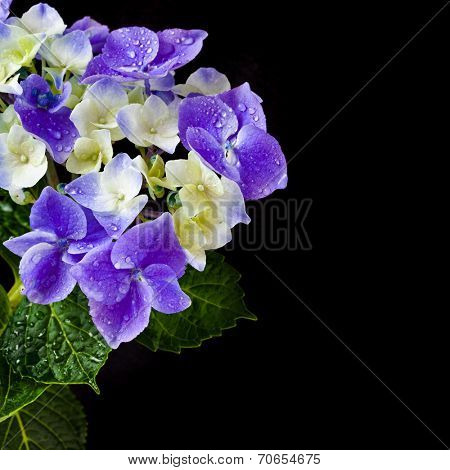 Border card of Hortensia Hyndrangea Flower with water drops wih copy space on black background