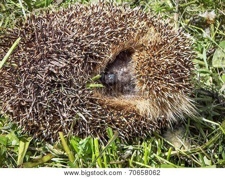 Hedgehog curled
