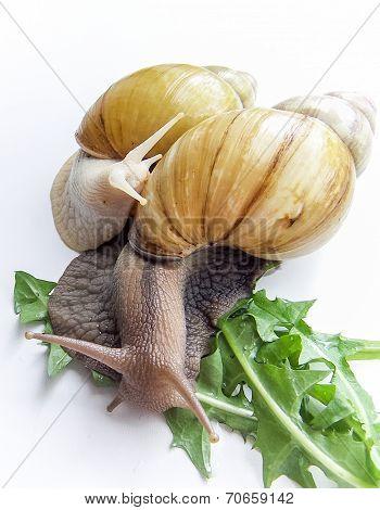 Snails Achatina