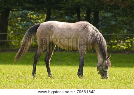 Arab Horse Grazing On A Sunny Day