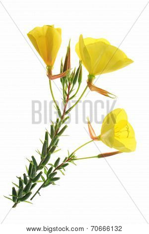 Evening Primrose (Oenothera)