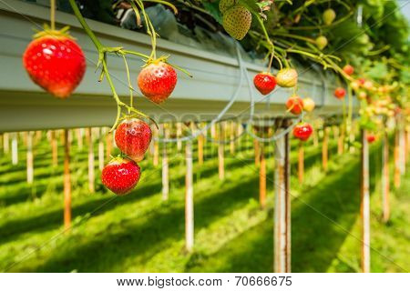 Strawberry Cultivation Outdoors