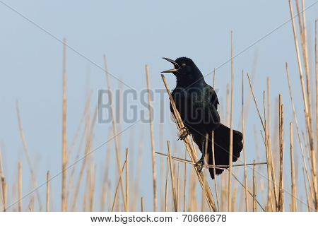 Great-tailed Grackle Calling - Texas