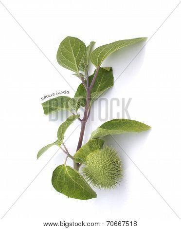 Herbarium : Datura Inoxia Branch