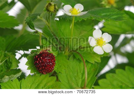 Red And Unripe Wild Strawberry