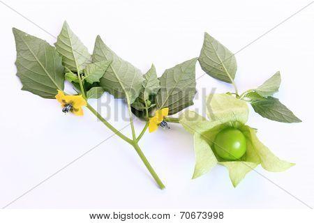 Tomatillo (Physalis philadelphica)